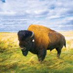 Bison for the Syncrude 25th anniversary